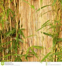 fresh ornamental bamboo with a bamboo fence stock photo image