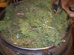 utah native plants utah juniper house of aromatics