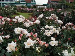rose bed www justourpictures com roses imgs chanelle rosebe