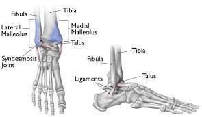 Calcaneus Anatomy Anatomy Organ Pictures Ankle Bones Images Collection Tibia Talus
