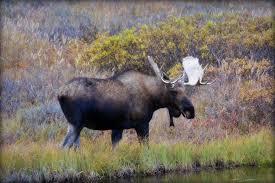 Alaska wild animals images Moose animal wildlife alaska moose in denali national flickr jpg