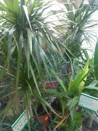 Tree Care Tips To Make dracaena plant care growing planting cutting diseases pests