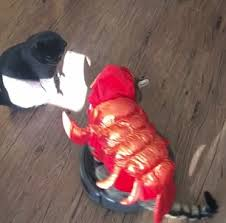 Lobster Costume Canadian Cat Rides Roomba Wearing Lobster Costume Daily Mail Online