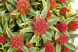 beautiful plants special deal skimmia magic marlot a jewel in your garden pack