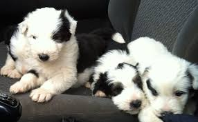 bearded collie adoption working bearded collie puppies rhayader powys pets4homes
