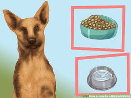 belgian shepherd how much how to care for a belgian malinois with pictures wikihow
