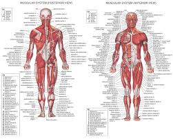 human body name of all muscles name of body muscle parts all part