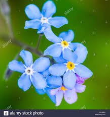 a collection of small blue forget me not blooms stock photo