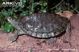 map turtle map turtle photos and facts graptemys versa arkive