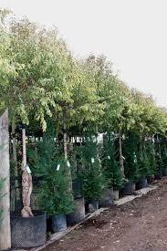 ligustrum luc excelsum superbum privet tree shrub