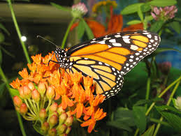 monarch butterfly migration journey north citizen science