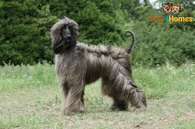 afghan hound sale afghan hound dog breed information buying advice photos and