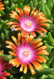 best 25 succulent ground cover ideas on pinterest sedum ground