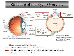 Eye Anatomy And Physiology Anatomy And Physiology Ppt Download
