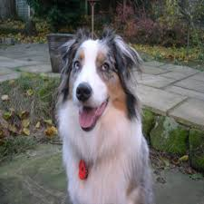 australian shepherd quirks lyn green dog boarder in west heath west midlands lookafteryourdog