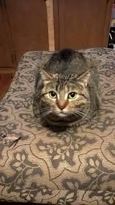 loafing on the ottoman catloaf pinterest cat cat and cat