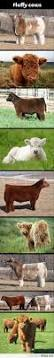 best 25 cute cows ideas on pinterest baby cows cow and fluffy cows