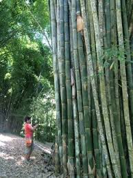 Wilson Botanical Gardens by Largest Bamboo Collection In The World Picture Of Wilson