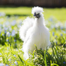 silkie chickens bantam chickens purely poultry
