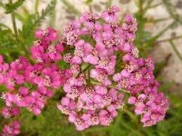 native new mexico plants albuquerque herbalism new mexico u0027s community herbalism program