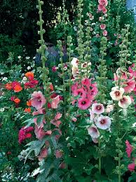 country romance mix hollyhock seeds and plants at burpee com