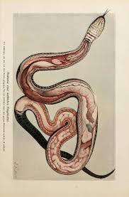 178 best snakes images on pinterest beautiful snakes snake