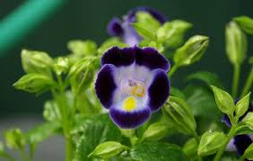 ornamental flowering plant for gardens torenia fournieri