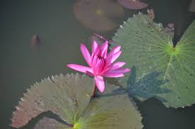 lotus flower navigating the labyrinth of life