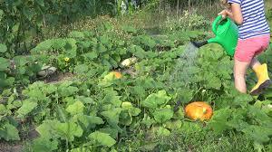 farmer woman in shorts watering beans legume plants in