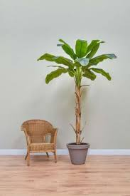 brilliant large artificial ficus tree delicate leaves and easy to