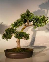 artificial bonsai trees large artificial podocarpus preserved