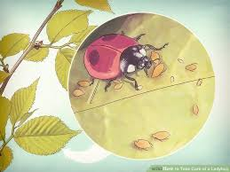 How To Find Ladybugs In Your Backyard How To Take Care Of A Ladybug 9 Steps With Pictures Wikihow