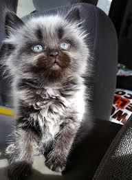 beautiful kittens beautiful kitten with blue eyes cutest paw