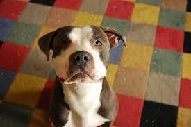 Seeking Pitbull Sweet Smart Blue Nose Pitbull Seeking Permanent Home