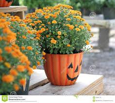 halloween pumpkin mums royalty free stock photos image 33862178