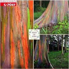 rainbow eucalyptus seeds ebay