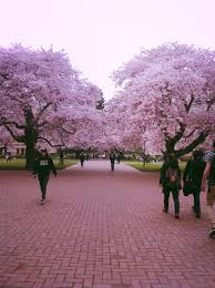 Cherry Blossom Facts by Gorgeous Cherry Blossoms At The University Of Washington Best 4