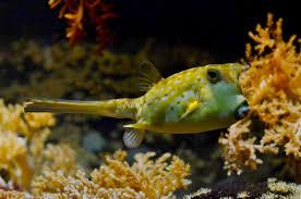 free stock photo of balloonfish corals fish