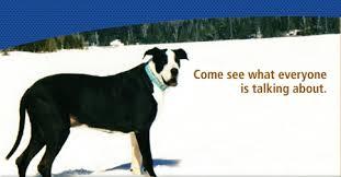 Blind Great Dane Great Dane Rescue Home