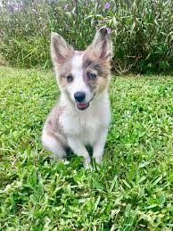 australian shepherd puppies for sale los angeles australian shepherd mixed with american eskimo puppy puppies