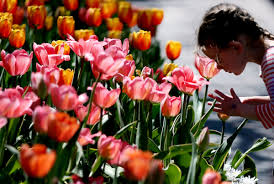 thanksgiving point tulip festival returns for its 14th year