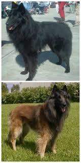 belgian sheepdog intelligence herding dogs belgian sheepdog and belgian tervuren http