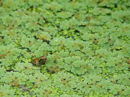 Frog Pond Backyard Simple Frog Ponds For Your Back Yard Frogpondsrock