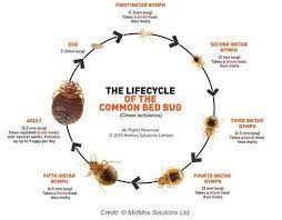 What Causes Bed Bugs To Come Where Do Bed Bugs Come From And What Causes Bed Bugs Images Of