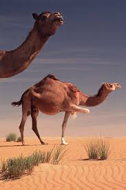 when and where were camels domesticated