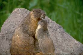 celebrate groundhog embark marmot thon u2013 cool green science