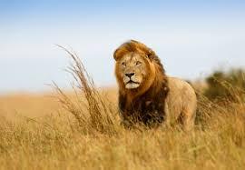 lions brave mental floss