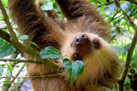 4 toed sloth sloth care selecting and caring for a pet sloth pet territory