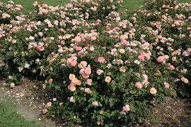 drift roses apricot drift rosa meimirrote in ringoes flemington new