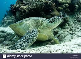 imagenes tortugas verdes tortugas verdes chelonia mydas comunes alrededor de pom pom isla